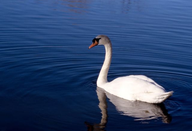 Mute Swan (Cygnus olor) Picture