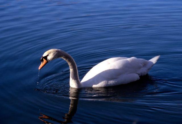 Mute Swan (Cygnus olor) Picture