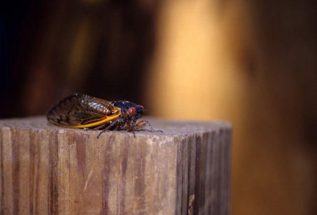 Cicada (Cicadidae) Picture