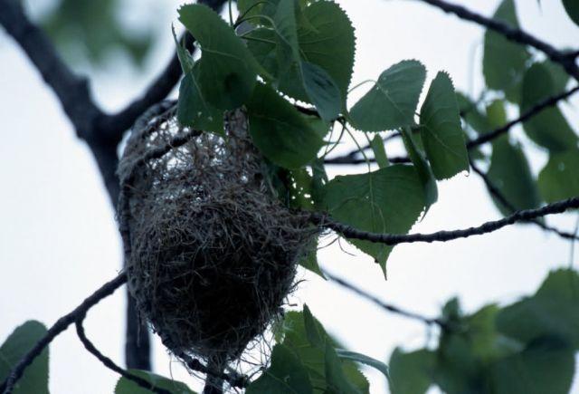 Baltimore Oriole Nest Picture