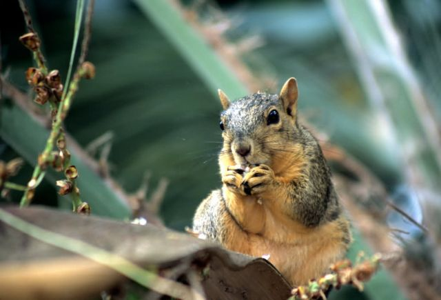 Fox Squirrel (Sciurus niger) Picture