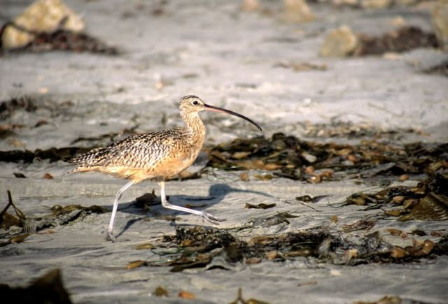 Long-billed Curlew (Numenius americanus) Picture
