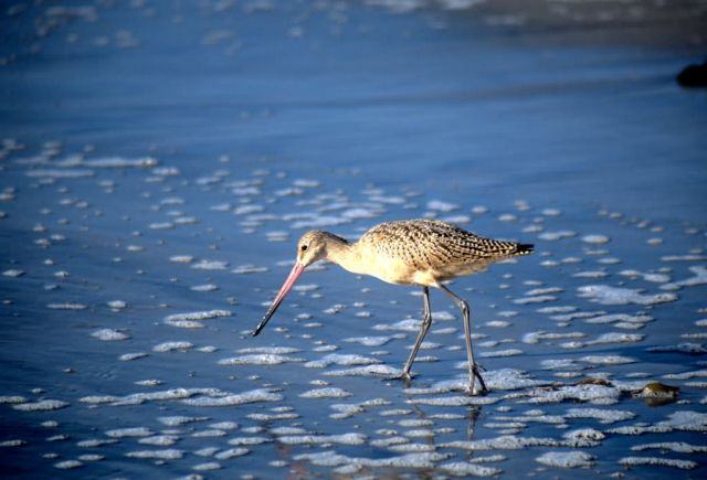 Marbled Godwit (Limosa fedoa) Picture