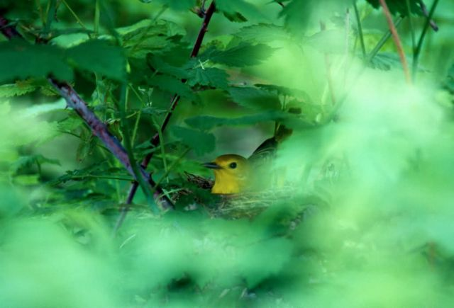 Yellow Warbler (Dendroica petechia) Picture