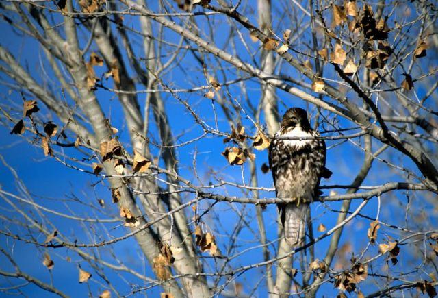 Cooper's Hawk (Accipiter cooperii) Picture