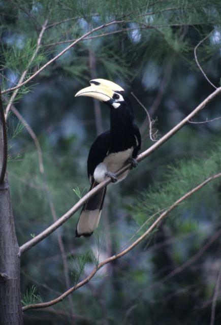 Oriental Pied Hornbill (Anthracoceros albirostris) Picture