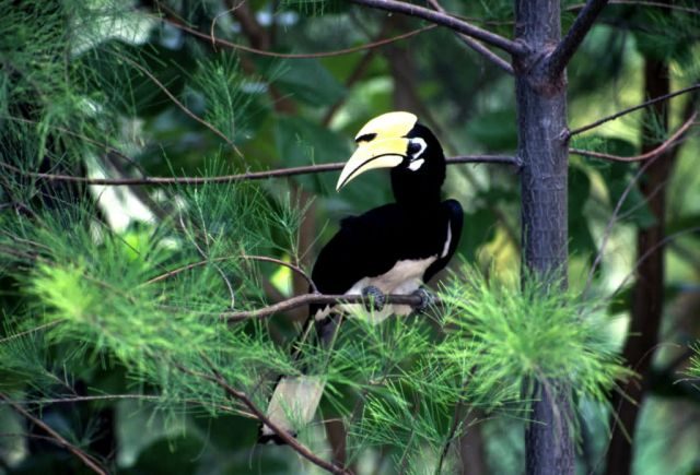 Oriental Pied Hornbill (Anthracoceros albirostris) Picture