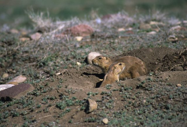 White-tailed Prarie Dog (Cynomys leucurus) Picture