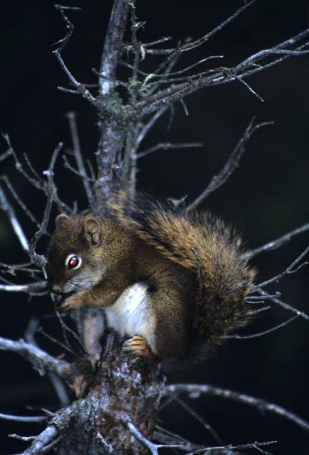 Red Squirrel (Tamiasciurus hudsonicus) Picture