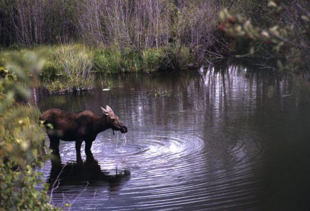 Moose (Alces alces) Picture