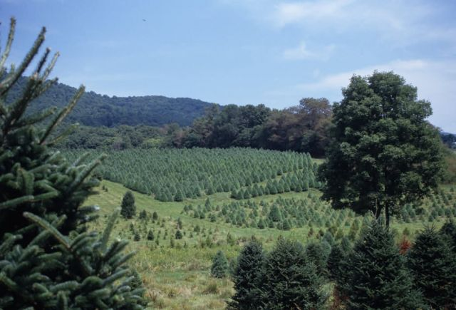 Christmas Tree Farm Picture