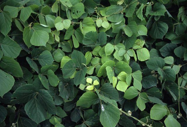 Kudzu (Pueraria montana) Picture