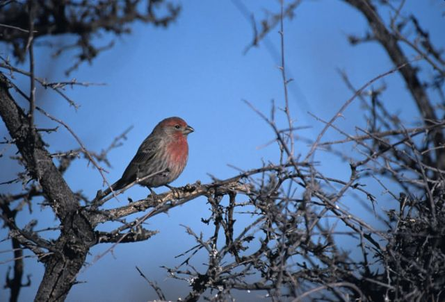 House Finch (Carpodacus mexicanus) Picture