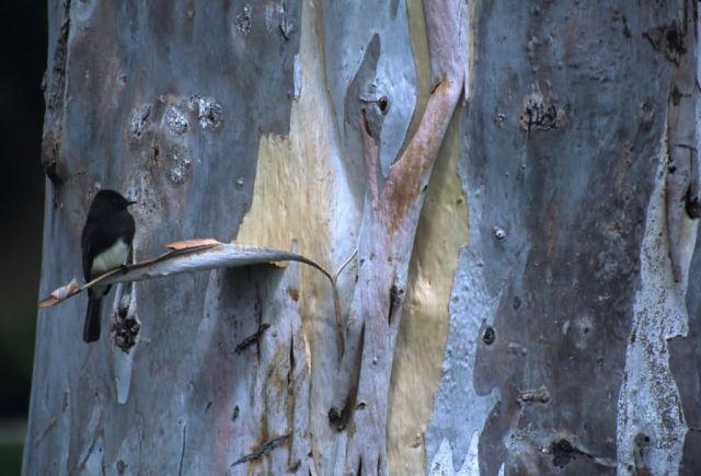 Black Phoebe (Sayornis nigricans) Picture
