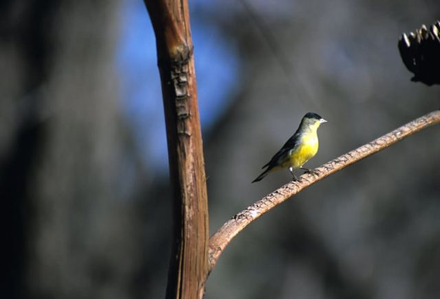 Lesser Goldfinch (Carduelis psaltria) Picture