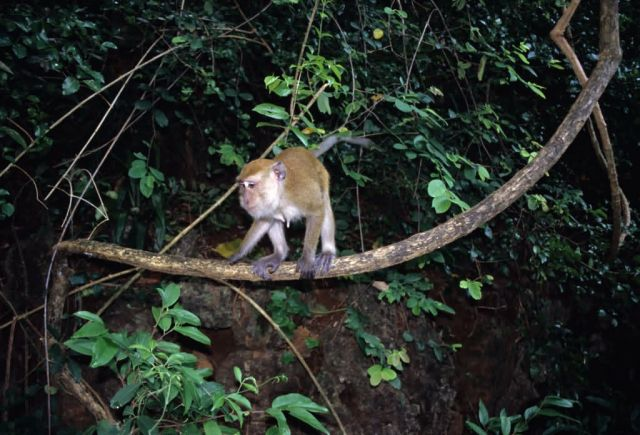 Long-tailed Macaque (Macaca fascicularis) Picture