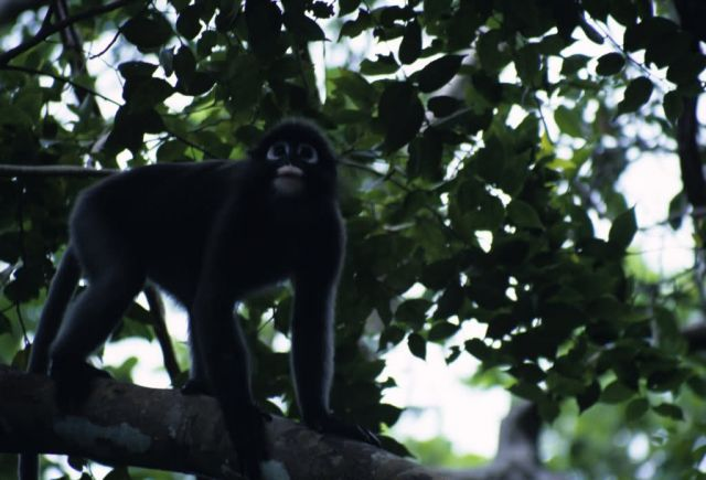 Dusky Leaf Monkey (Trachypithecus obscurus) Picture