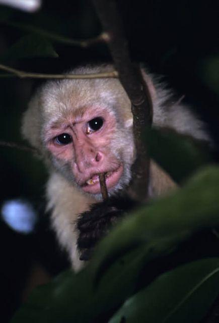 White-faced Capuchin (Cebus capucinus) Picture
