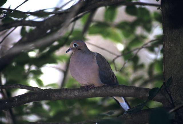 Mourning Dove (Zenaida macroura) Picture