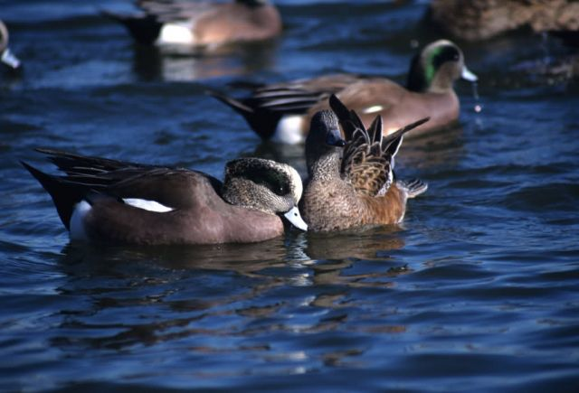 American Wigeon (Anas americana) Picture