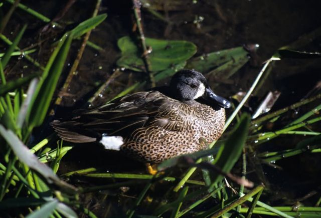 Blue-winged Teal (Anas discors) Picture