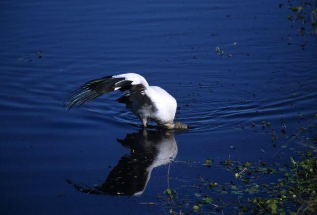 Wood Stork (Mycteria americana) Picture