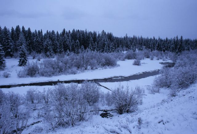 Stream Bordered by Snow-Covered Trees and Low-Lying Vegetation Picture