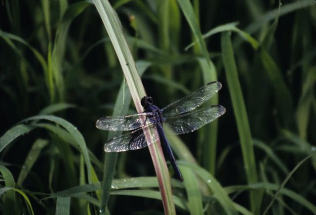 Great Blue Skimmer (Libellula vibrans) Picture