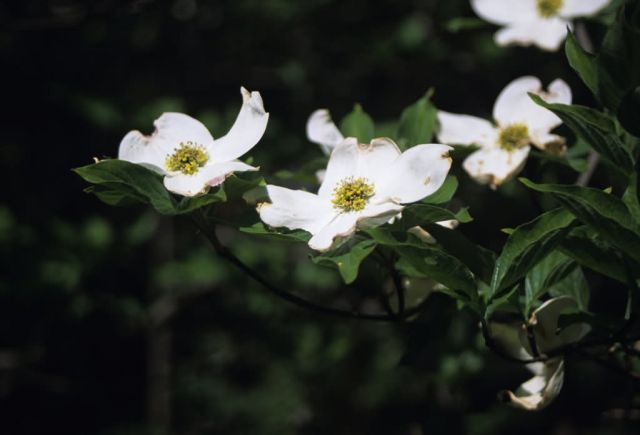 Flowering Dogwood (Cornus florida) Picture