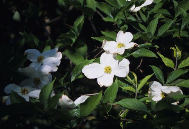 Flowering Dogwood (Cornus florida) Picture