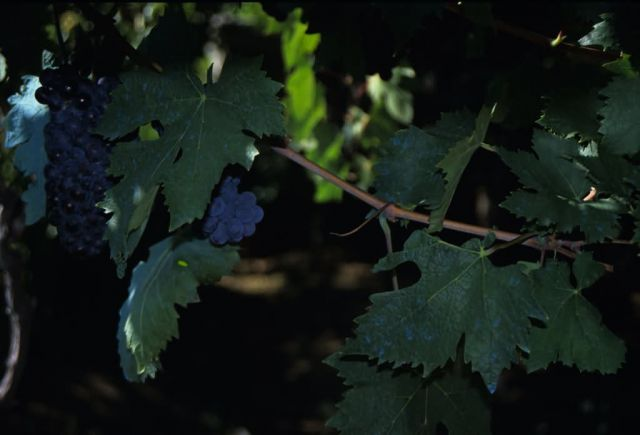 Wine Grapes Picture