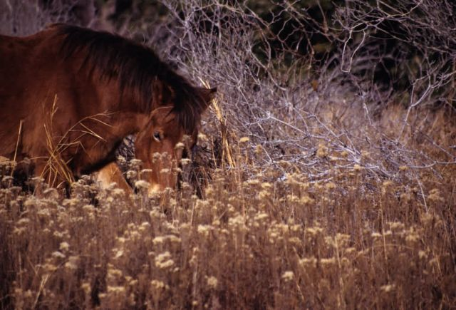 Feral Horse (Equus caballus) Picture