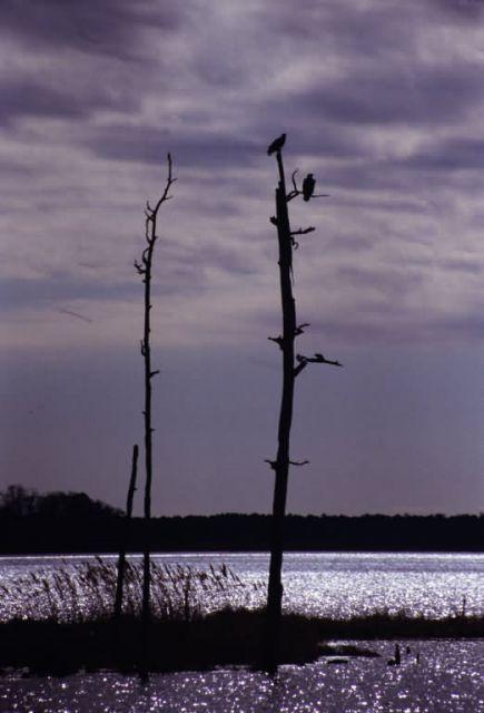 Bald Eagle (Haliaeetus leucocephalus) silhouette Picture