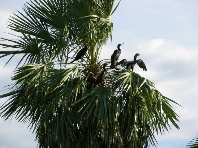 Neotropical Cormorants in a Copernicius Picture