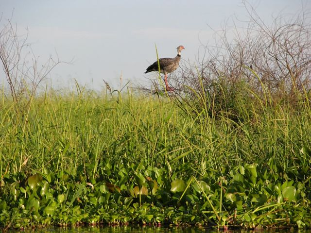 Southern Screamer in Pantanal Picture