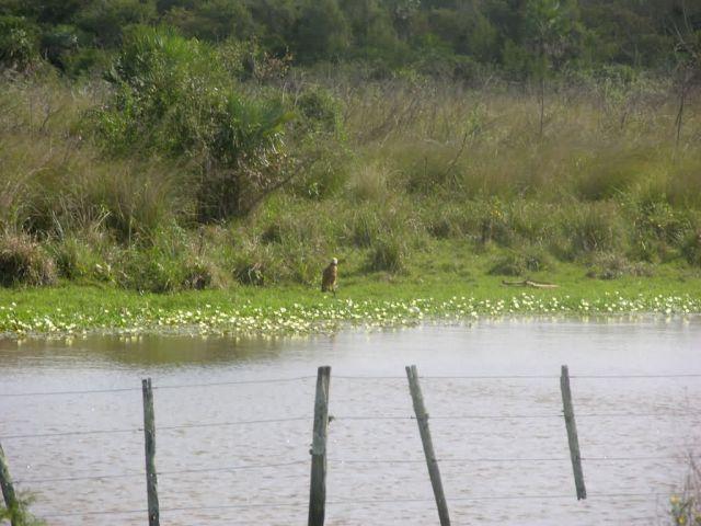 Black-collared Hawk (Busarellus nigricollis) Picture