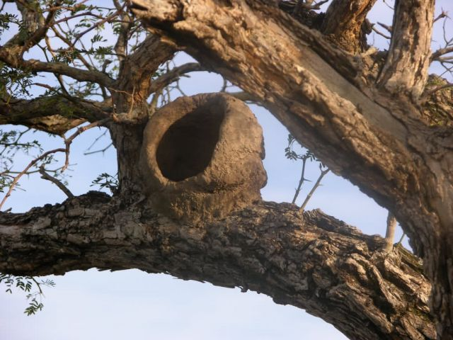 Mud Nest of Hornero in Tree Picture