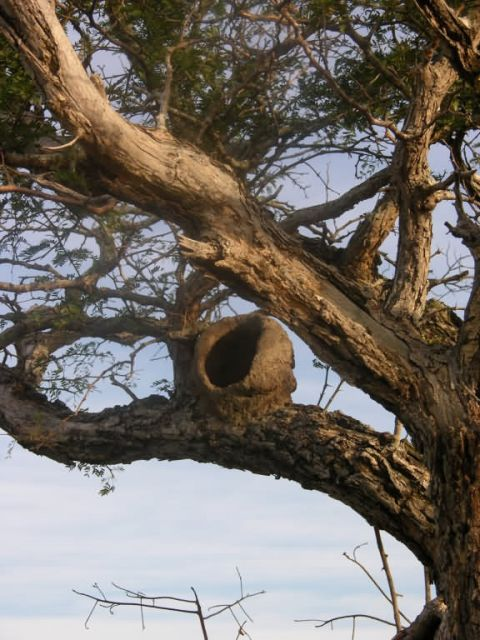 Mud Nest of Hornero in Tree Picture