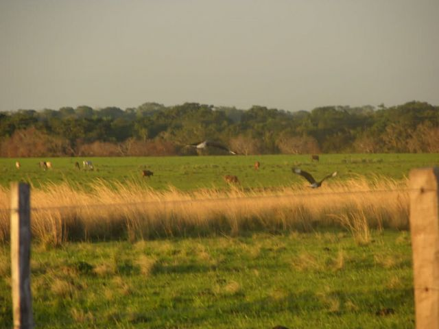Southern Crested Caracaras Flying Away in Pasture Picture
