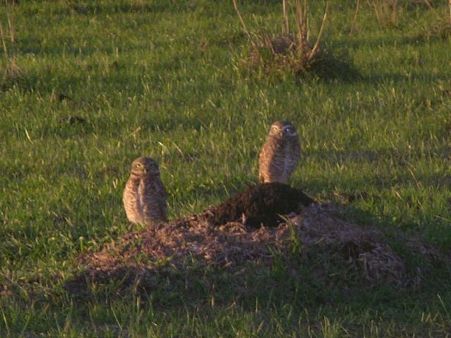 Burrowing Owls Perched on Ground Near Burrow Picture