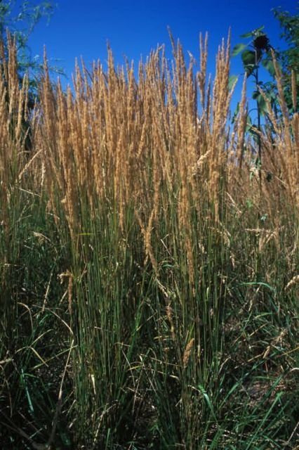 Feather Reed Grass (Calamagrostis xacutiflora) Picture