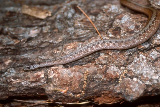 Brown Snake (Storeria dekayi dekayi) Picture