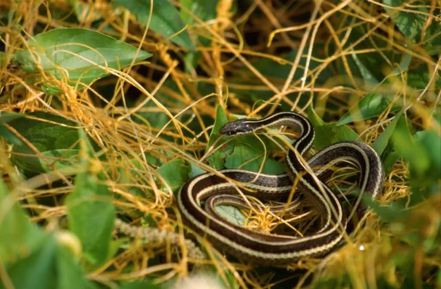 Eastern Ribbon Snake (Thamnophis sauritus) Picture