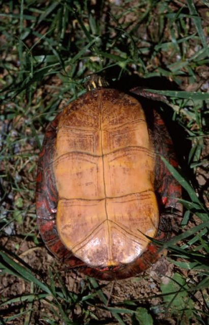 Painted Turtle (Chrysemys picta) Picture