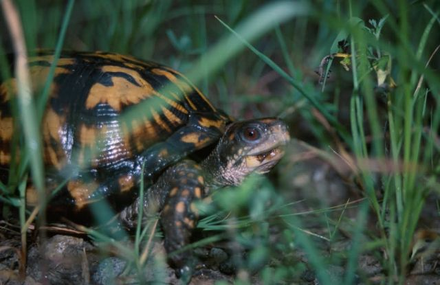 Eastern Box Turtle (Terrapene carolina) Picture