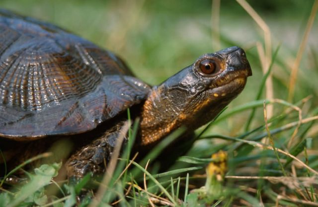 Wood Turtle (Glyptemys insculpta) Picture