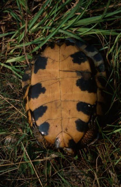 Wood Turtle (Glyptemys insculpta) Picture