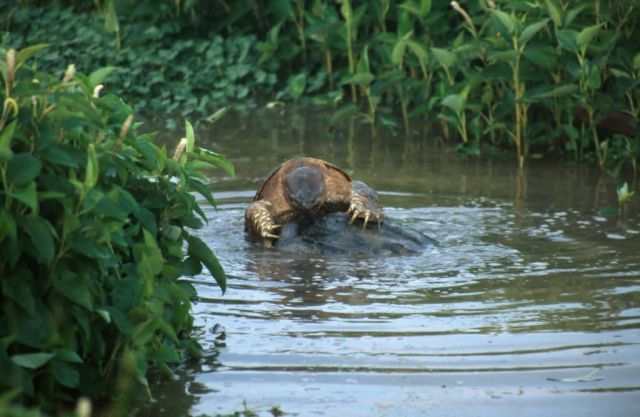 Snapping Turtle (Chelydra serpentina) Picture