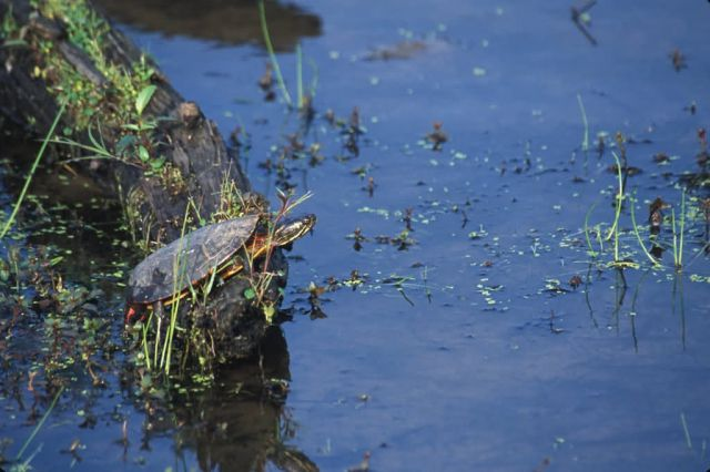 Eastern Painted Turtle (Chrysemys picta) Picture