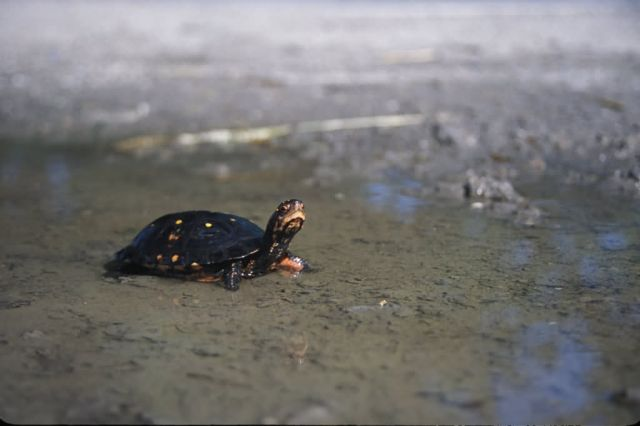 Spotted Turtle (Clemmys guttata) Picture